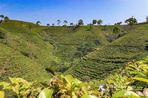 kebun teh kemuning wisatajatengcom