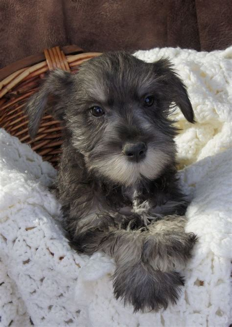 miniature schnauzer puppies  sale salt  pepper color