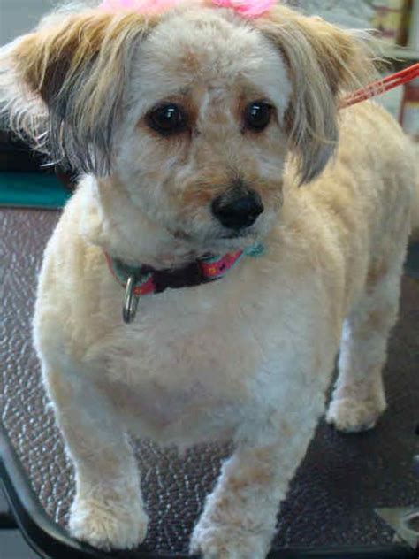 doxiepoo dachshund poodle mix