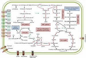 Schematic Overview Of Important Kegg Metabolic Pathways In