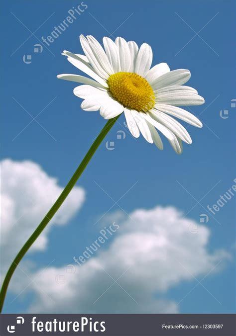 picture  single daisy