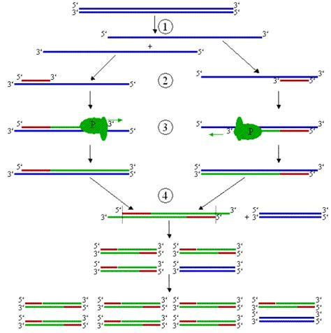 bureau de la pcr polimorfismos de adn