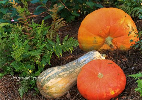 The Graceful Gardener » A 'festival Of Pumpkins' …in My