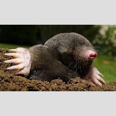 Pest Control Moles  Norwich & Norfolk
