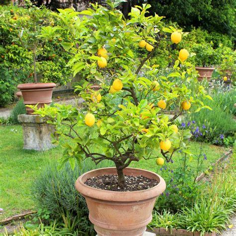 taille d un citronnier en pot taille d un citronnier en 28 images comment faire pousser un citronnier 224 partir d un p