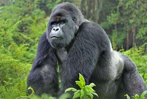 days congo gorillas special uganda safaris
