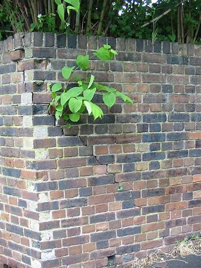 Knotweed Japanese Removal Cost Damage Weed Costs
