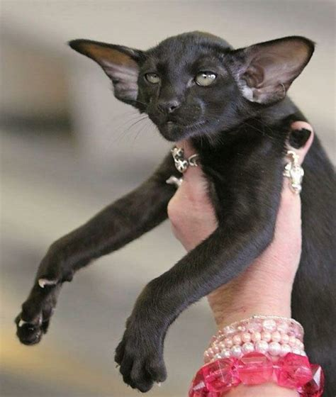 Dumbo Cat Huge Ears My Style Pinterest Cats And Ears