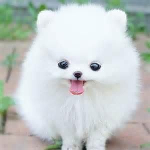 Teacup White Pomeranian Puppy
