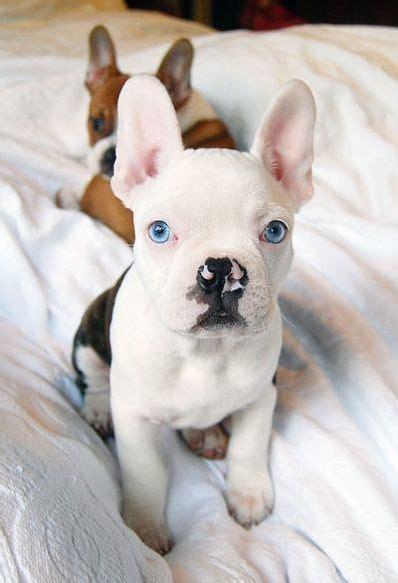 cutest  funniest french bulldog mixes