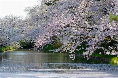 Sakura Bunga Blossom Cherry Menanam Pohon Tree