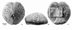 Hemipatagus Hoffmanni  Goldfuss  1829   Syntype And Figured Specimen Of