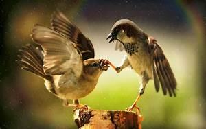 Two fighting birds wallpaper free - beautiful desktop ...