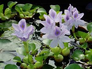 Meilleur Site De Vente De Plantes En Ligne : vente plante aquatique photos de magnolisafleur ~ Melissatoandfro.com Idées de Décoration