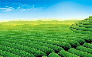 Tea Garden Full HD Wallpaper and Background Image ...