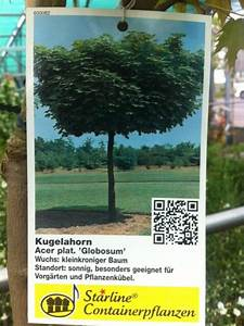 Kleiner Baum Mit Breiter Krone : kugelbaum f r vorgarten kleine b ume mit runder krone ~ Michelbontemps.com Haus und Dekorationen