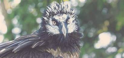 Vulture Bearded Flappy Snappy Thing Becausebirds Birds