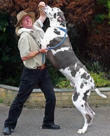 Image result for the great dane dog