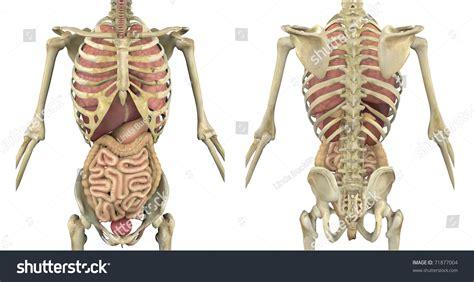 male skeleton internal organs front  stock