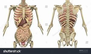 Male Skeleton Internal Organs Front Back Stock