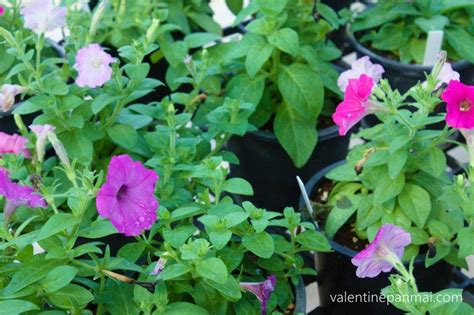 pitunia - วาเลนไทน์พันธุ์ไม้