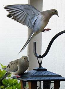 12 best mourning dove images images on Pinterest ...
