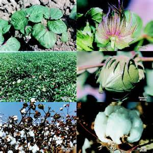 Cotton Growth Stages
