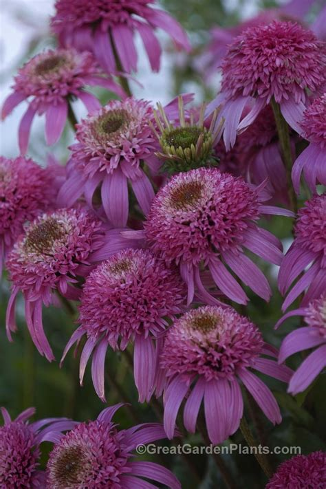 Coneflower With Double Flowers What A Treat! Echinacea