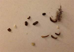 what does bed bug poop look like fixer tips With bed bug poop