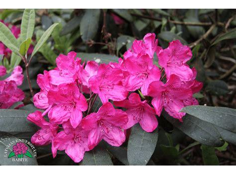 Latvijas stādi - Rhododendron 'Summer Rose' - mūžzaļais ...