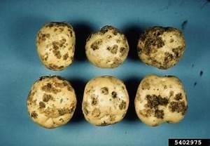 Vegetable: Potato, Identifying Diseases | UMass Center for ...