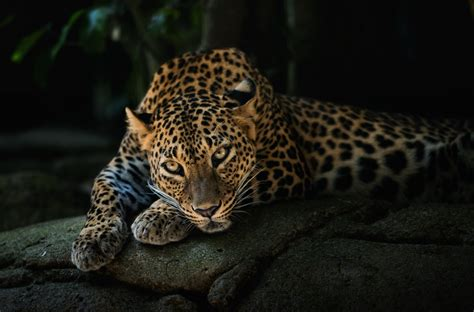 animals leopard wallpapers hd desktop  mobile