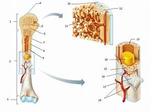 Quizlet Anatomy Bones