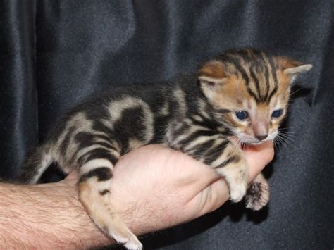 kitten for sale bengal cats cats