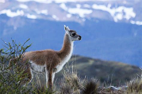 Wonderful Llama Photo by Patagonia S Local Llamas The Guanaco National