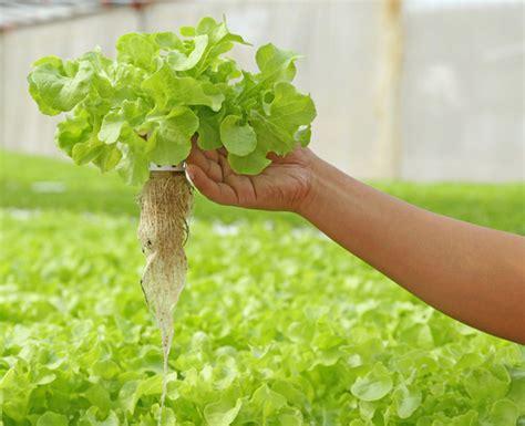 aquaponic lettuce inhabitat green design innovation