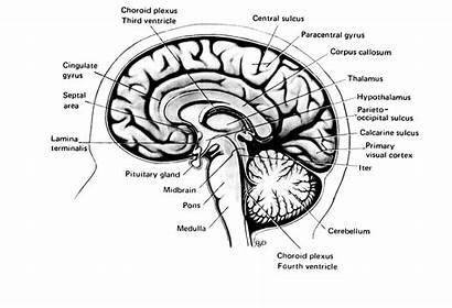 Human Brain Adam Michelangelo Sagittal Mid Creation