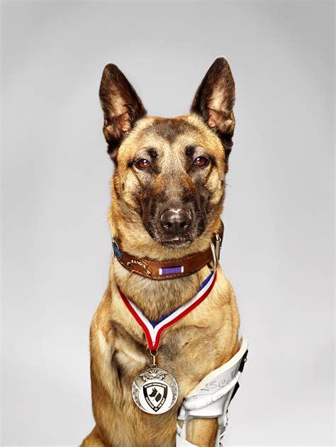 meet  military hero dog layka american humane