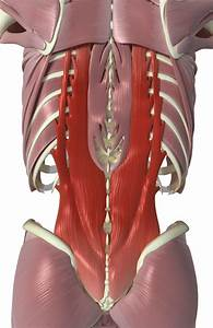 Interspinales And Intertransversarii Back Muscles