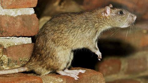 gegen ratten vorgehen sendung 24 11 2017 wdr swr ard alpha ratten