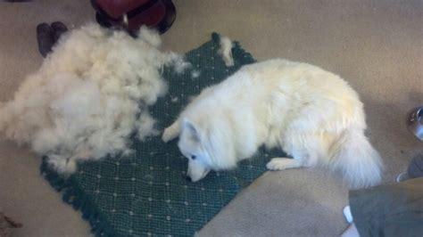 A Shedding Samoyed My Puppy Pinterest Dog