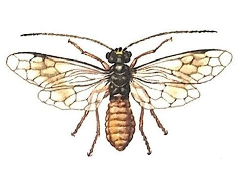 http://www.pesticidy.ru/family/pamphiliidae