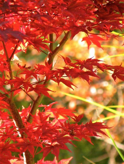 Winterharte Blumen Für Kübel by Japanischer Ahorn F 252 R Balkon Und Terrasse Im K 252 Bel Und