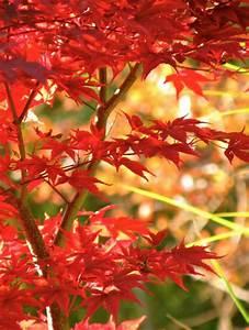 Pflanzen Schattig Winterhart : japanischer ahorn f r balkon und terrasse im k bel und ~ A.2002-acura-tl-radio.info Haus und Dekorationen