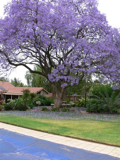california tree with purple flowers jacaranda tree purple flowers peak in may native to south america thrive in southern