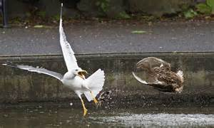 mother duck fights  seagull  defend  chicks