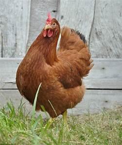 Comment Elever Des Poules : lever des poules pondeuses poules pinterest ~ Melissatoandfro.com Idées de Décoration