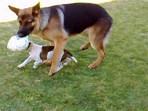 German Shepherd Bulldog Mix | www.pixshark.com - Images ...