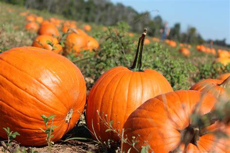 Autumn Pumpkin Wallpaper by Pumpkin Patch Wallpapers Wallpaper Cave