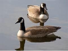 File:Pair of Canada Geese.jpg